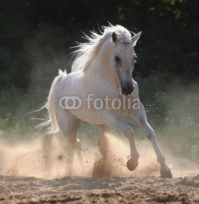 white horse runs gallop in dust